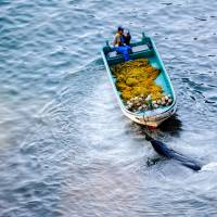 A fisherman tows what appears to be a pilot whale at a cove in Taiji, Wakayama Prefecture, on Sept. 10, 2009. | ROB GILHOOLY