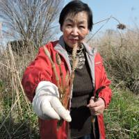 A woman holds horsetail she harvested in early spring. The plant should be boiled before eating.   JOHN SPIRI