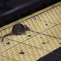 A rat crosses a Times Square subway platform in New York in January. It's a problem practically as old as New York itself, how to handle the untold legions of rodents residing in the city. Last year, the city received more rat-sighting calls than ever before, and officials, led by a city rat scientist, are trying new and innovative ways to control the population, with mixed results. | AP