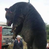 This massive brown bear shot dead in Monbetsu, Hokkaido, in September weighed about 400 kg. The faces of the people were blurred at their request. | TSUNEO SATO/KYODO