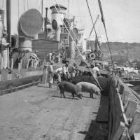 Hawaii pig shipment after the war to be memorialized in Okinawa