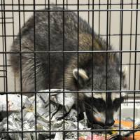 Rogue raccoon causes commotion in Akihabara