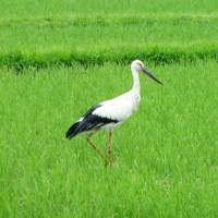 A stork forages in a rice paddy in Toyooka, Hyogo Prefecture, in June.   KYODO