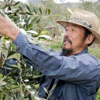 Fresh harvest: A worker on Shodoshima gathers olives that will be used to produce the award-winning Olive no Mori variety of olive oil. | SHODOSHIMA HEALTHY LAND CO., LTD.