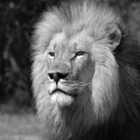 Leader of the pack: Male lions are famous for committing infanticide. | ISTOCK
