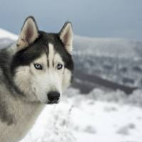 Sled dogs in an age of climate change
