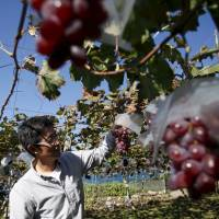 TPP giving sheltered farmers greater incentive to export pricey produce