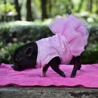 A miniature pig belonging to breeder Xhantal Bobadilla is shown off at a park in Mexico City on Oct. 15. | AFP-JIJI