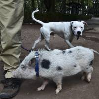Daniel Munoz walks his pig Gusfredi at a park in Mexico City on Oct. 15. | AFP-JIJI