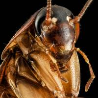 Cockroach's bite packs 50 times more power than body weight