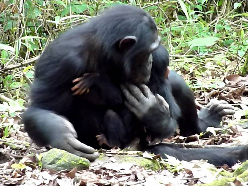 In first, Japanese researchers observe chimp mother, sister caring for disabled infant