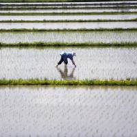 A farmer tends to rice paddies in Fukushima Prefecture in this file image from 2011. One in five farmers and foresters left the sector over the past five years, and lack of recruits pushed up the average age of those remaining. | ROBERT GILHOOLY