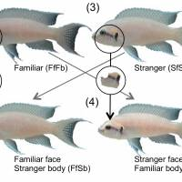 Fish can recognize faces: Osaka City university team