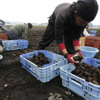 Farmers sort harvested konnyaku (devil's tongue) roots into crates in the village of Showa, Gunma Prefecture, on Tuesday. | BLOOMBERG