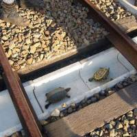 Turtles are seen in a concrete ditch built under railway tracks in Kobe during an experiment last November aimed at preventing them from being squashed beteween track switches. | WEST JAPAN RAILWAY CO./KYODO