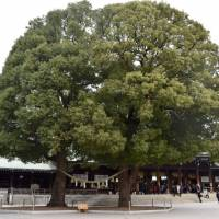 These two sacred trees are known as the 'husband and wife' trees. It is believed that there is a line of power between them and the Main Hall. | MIINA YAMADA