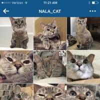 This screenshot of the Instagram feed nala_cat shows images of Nala, a Siamese and tabby mix cat. The cat is one of the most popular online animals on Instagram, with 2.6 million followers. | VARISIRI METHACHITTIPHAN VIA AP