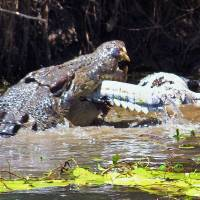 With food fish scarce, Aussie croc swallows smaller mate whole