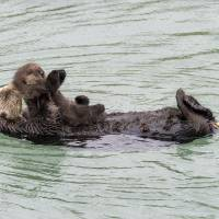 Holiday treat: Wild sea otter gives birth in Monterey aquarium open tide pool