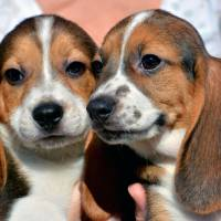 World's first test-tube puppies a breakthrough decades in the making