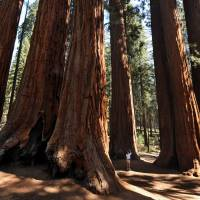 A woman takes photos in a grove of the Giant Sequoia trees in Sequoia National Park in Central California in 2009. As many as 58 million large trees in California are threatened by record drought afflicting the state since 2011, says a study published Monday. | AFP-JIJI