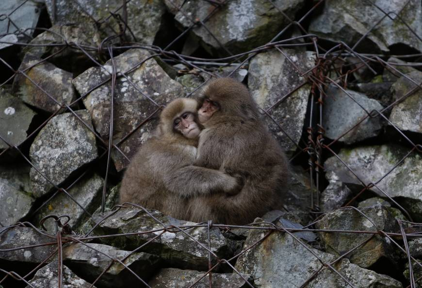 Since temperatures in and around Nagano city often reach below freezing during the winters, the Snow Monkeys have taken advantage of the area