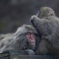 Monkeying around in Yamanouchi