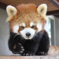 This undated handout photo shows Sumire, the red panda who recently escaped from the Shizuoka Municipal Nihondaira Zoo in Shizuoka and was recaptured on Thursday. | AFP-JIJI