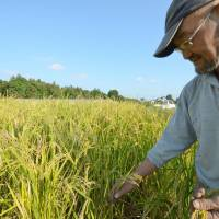 Choichi Ueno of Kaminokawa, Tochigi Prefecture, checks rice in October. The grain has been grown from seeds collected in Nagasaki after the city was hit by an atomic bomb in 1945. | KYODO