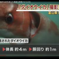 A screenshot of a video taken by Akinobu Kimura, owner of Diving Shop Kaiyu, shows a giant squid swimming in the waters off Toyama Prefecture, Japan. | ANN / DIVING SHOP KAIYU
