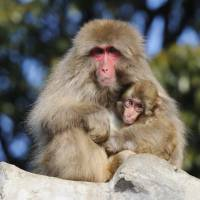 Events celebrating the Year of the Monkey will be held at Ueno Zoo until Jan. 17.   TOKYO ZOOLOGICAL PARK SOCIETY