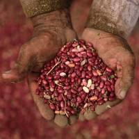 Central America tests drought-resistant beans