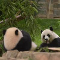 Natural breeding: Mei Xiang (right) and her baby panda, Bao Bao, sit in their enclosure at the U.S. National Zoo in Washington. | AFP-JIJI