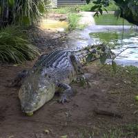 A saltwater crocodile is seen in captivity in this undated file image. | MARTINRE / CC-BY-SA-3.0