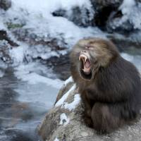 A macaque yawns by the side of frozen water at Huangshan, Anhui province,China, Monday. | CHINA DAILY / REUTERS