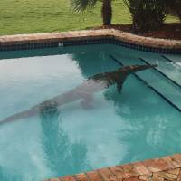 A crocodile swims in a privately owned pool in Islamorada, Florida., Thursday. The Florida Fish and Wildlife Conservation Commission assisted in the removal of the crocodile. | LT. DAVID CAREY / MONROE COUNTY SHERIFF'S OFFICE VIA AP