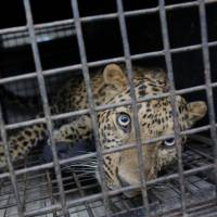 A leopard is seen in a cage after it was found inside a house in Kirtipur, Kathmandu, Nepal, on Jan. 22. Forest department officials tranquillized the leopard and released it in a forest. | AP