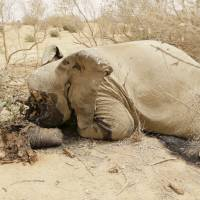 A slaughtered elephant is seen in Bambara-Maoude, Mali, in June last year. | REUTERS