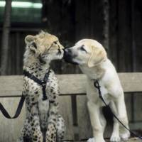 Sarah the cheetah is seen as a cub with her puppy companion, Alexa, at the Cincinnati Zoo in this undated photo. | REUTERS