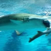A female sand tiger shark eats a smaller male banded hound shark at the COEX Aquarium in Seoul on Friday. | AFP-JIJI
