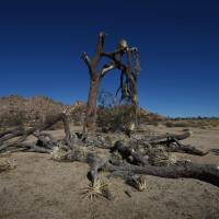 A Joshua dying due to drought stands in Joshua Tree National Park, California, on Nov. 22. | AFP-JIJI