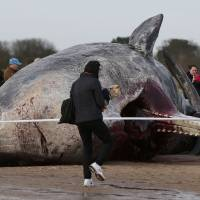 A sperm whale lies on the sand after being washed ashore at Skegness beach in Skegness, England, on Monday. | REUTERS