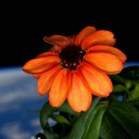 This image made available by NASA via Twitter posted Sunday by space station commander Scott Kelly, shows a zinnia flower out in the sun at the International Space Station. Last month, Kelly had to fight off mold that threatened to kill all the flowers in the space station's mini-greenhouse.   SCOTT KELLY / NASA VIA AP