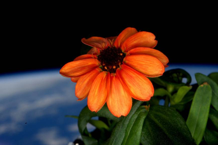 ISS commander Kelly keeps moss at bay as he coaxes zinnia to full orange bloom