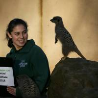 Keeper Veronica Heldt poses with a Meerkat during the stock take at London Zoo in London Monday.   REUTERS