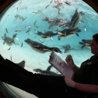 Humboldt Penguins swim in their pool as a keeper looks on through a spherical window during the annual stocktake press preview at London Zoo in Regents Park in London Monday. A requirement of ZSL London Zoo's license, the annual audit takes keepers a week to complete and all of the information is shared with zoos around the world via the International Species Information System, where it's used to manage the worldwide breeding programs for endangered animals.   AP