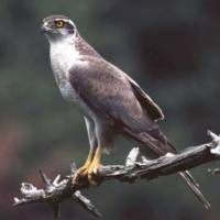 Environment Ministry to maintain ban on goshawk trade after bird exits endangered list