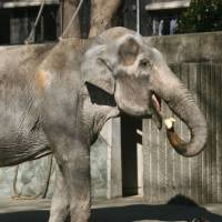A blog post about Hanako, a 69-year-old female elephant at Tokyo's Inokashira Park Zoo, has sparked calls to free the 'captive.' | KYODO