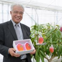 Mango farmer Mitsumune Murata shows off produce that his friends doubted he could grow. | KYODO