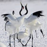 Red-crested white cranes frolic in Hokkaido's Kushiro wetland, the largest marshland in the nation, near the port city on Jan. 23. | KYODO